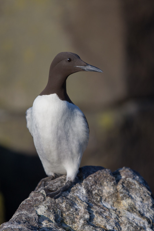 Guillemot     Isle of May,Scotland,2016