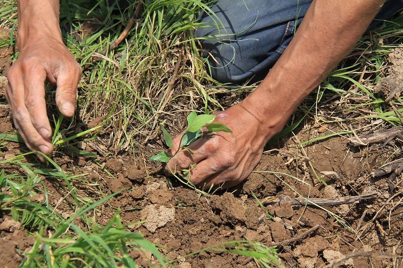 Planting pistachio in Uzbekistan