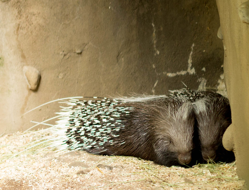 porcupines (1 of 1)