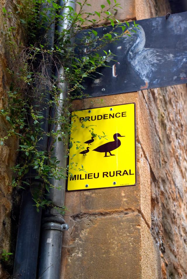 Goose Crossing in Sarlat | www.rachelphipps.com @rachelphipps