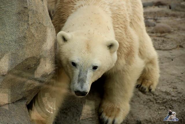 Eisbär Lili im Zoo am Meer 15.05.2016  164