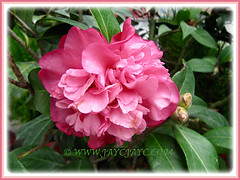 Beautiful Camellia japonica (Camellia, Japanese Camellia, Snow Camellia, Rose of Winter), 1 March 2016
