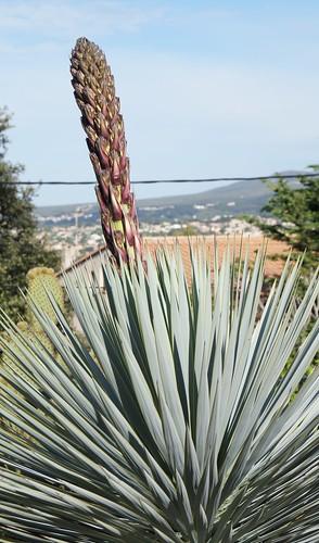 Yucca rostrata 16758887244_3d42669bed