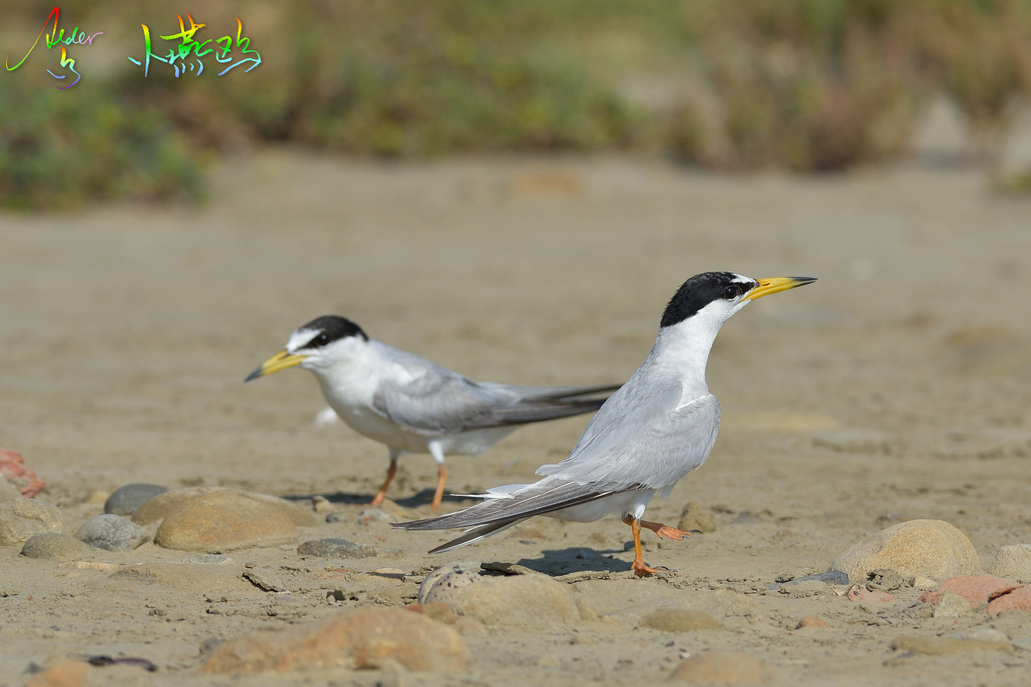Little_Tern_2221