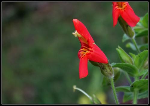 Mimulus cardinalis (3)