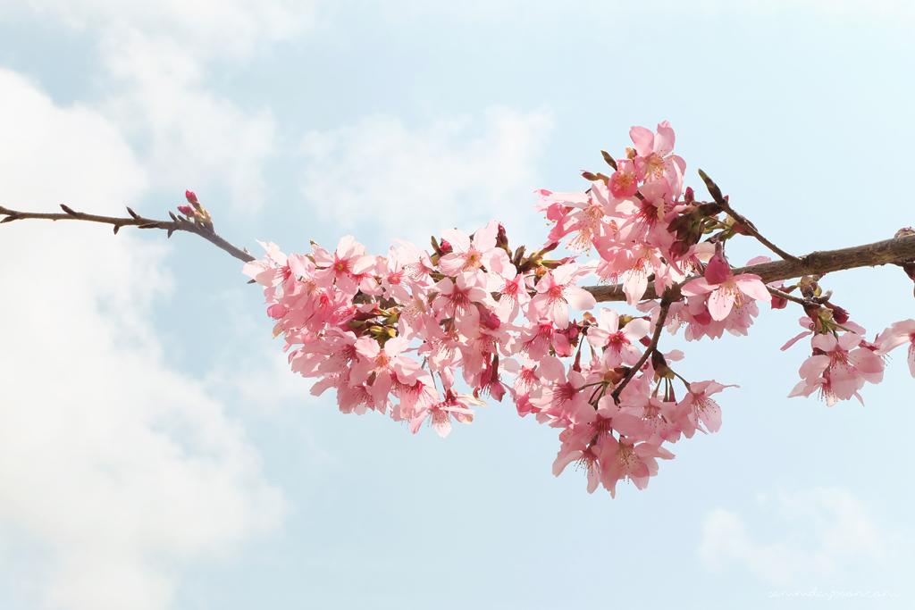 cherry-blossom-cingjing-taiwan