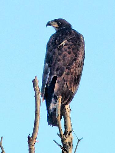 Bald Eaglet HDR 02-20160717
