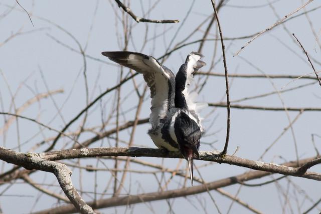 Belted Kingfisher-10.jpg