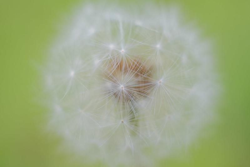 たんぽぽの綿毛 fluff of a dandelion