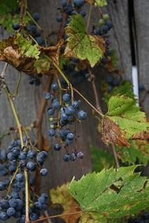 2016-9-20. Wild Grapes