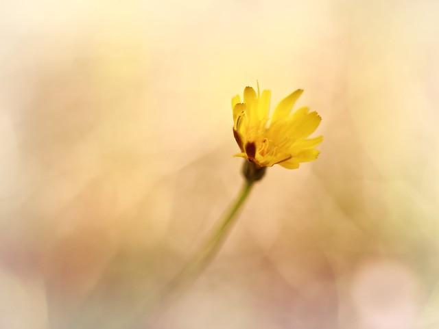 Golden hour flower