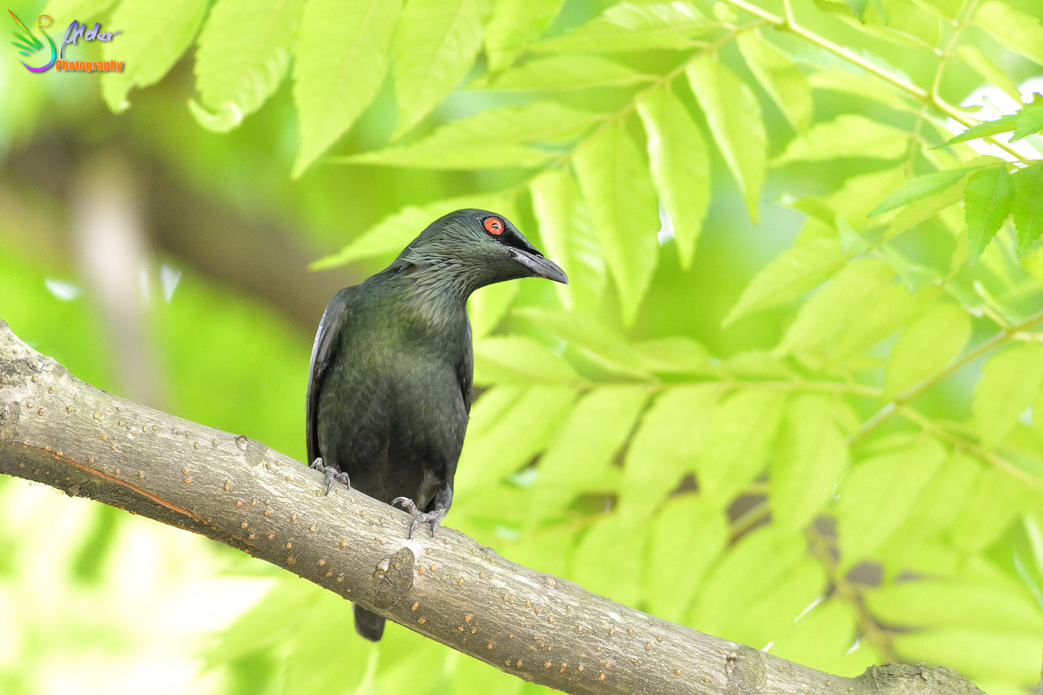 Asian_Glossy_Starling_7467