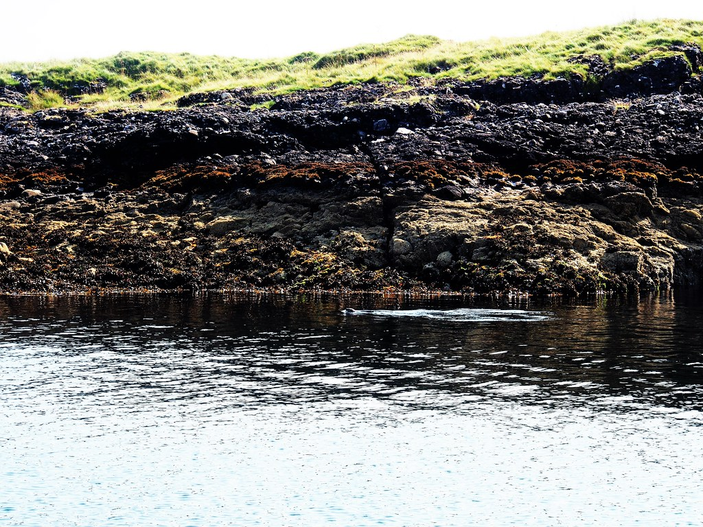Rare Sea Otter at Oban, Scotland.