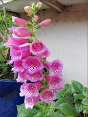 Foxglove spire in bloom