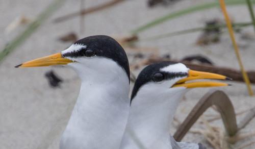 Least Tern nest
