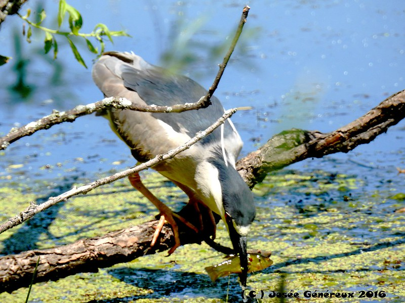 Bihoreau Gris  Fish On !!!!! Vraiment contente de cette observation, il a fait ma journée ;) 27142207604_435c7fa9e0_c
