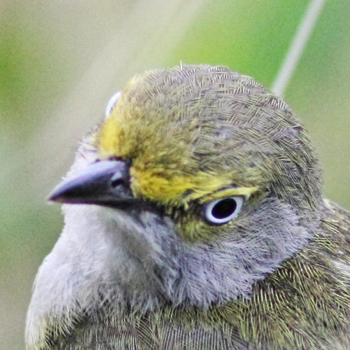 White-eyed Vireo portrait 20160526