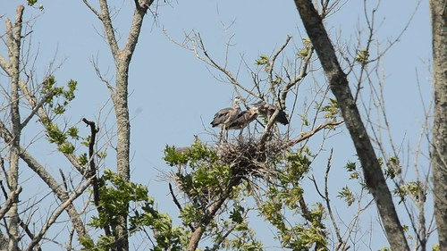 Heron Rookery at Lake Connestee-004