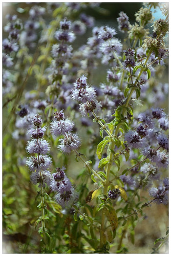 Mentha pulegium L. | by Carey Mahoney