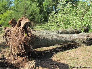 (19-2) Big old oak tree that fell during Thursday's storm - FarmgirlFare.com | by Farmgirl Susan