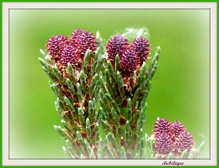 Mugo Pine New Growth | by clickclique