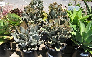 "Aeonium noblis, Kalanchoe beharensis 'Fang' Agave atenuata | by Sweetstuff ""Candy"""
