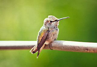 Henry the Hummingbird | by aMp Visual Concepts