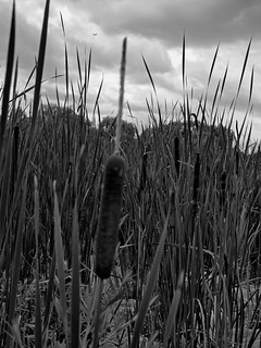 Rushes in B&W | by AR_the old guy