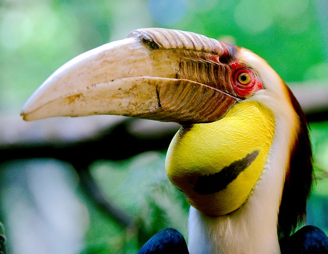 Wreathed Hornbill_12