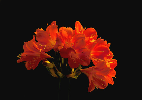 Clivia | by Patrick-Wang
