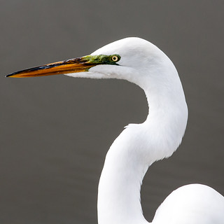Great Egret | by Mike Matney Photography