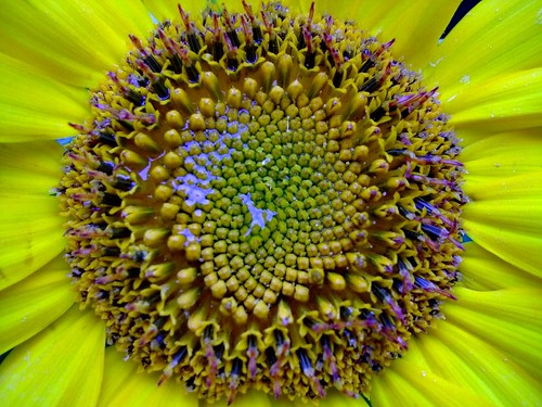 Sunflower_Seeds | by Sharon Rouse