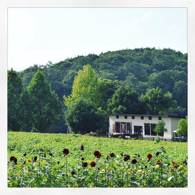「赤いひまわりと花カフェ」 #ひまわり#ひまわり畑 #赤いひまわり
