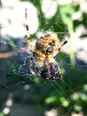 Garden spider with a prey