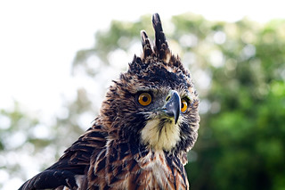 Ornate Hawk-Eagle - Spizaetus ornatus | by eutoxeres