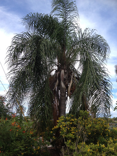 Palm - Queen