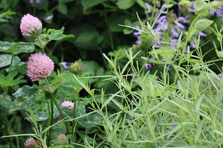 Clover and Dyer's Woodruff | by Brooklyn Botanic Garden