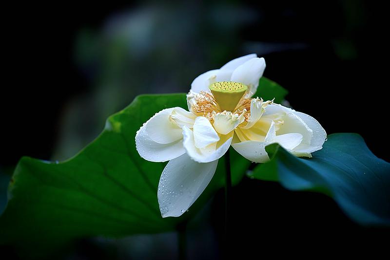 lotus, decay