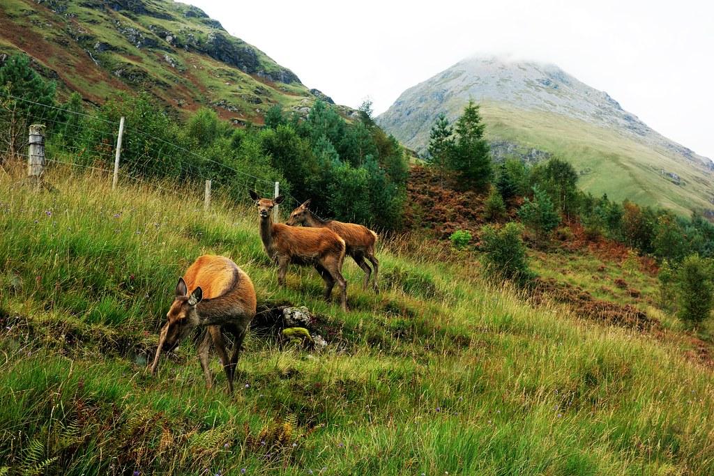 Red Deer at Glen Etive, Scotland