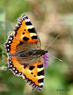 Small Tortoiseshell,aglais urticae,at Styal . Explored 11.9.12 | by claylaner