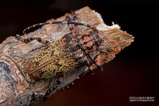 Longhorn beetle (Moechotypa sp.) - DSC_0692