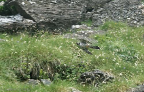 Coucou gris-Cuculus canorus - Common Cuckoo 1763.jpg