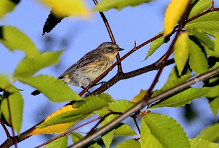 Paruline à croupion jaune / Yellow-rumped Warbler | by anjoudiscus
