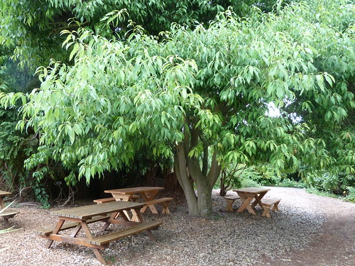 48-20120828_UBCBG_QuercusMyrsinifolia_Cutler_P1310472