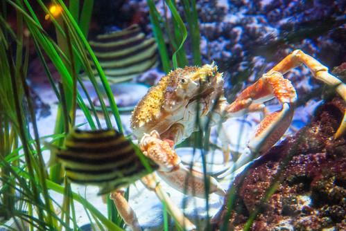 Victorian Spider Crab