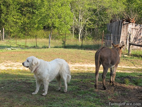 Daisy on donkey guard dog duty (16) - FarmgirlFare.com | by Farmgirl Susan