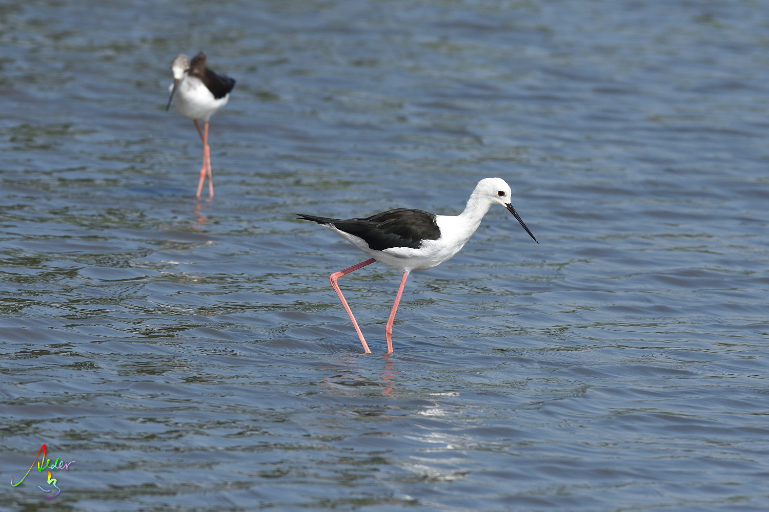 Black-winged_Stilt_8585