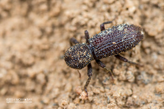 Darkling beetle (Stenochinus sp.) - DSC_0888