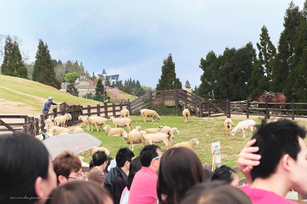 cingjing-farm-sheep-show