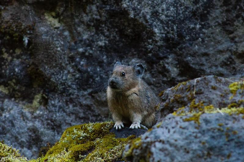 Pika - Mount Rainier National Park